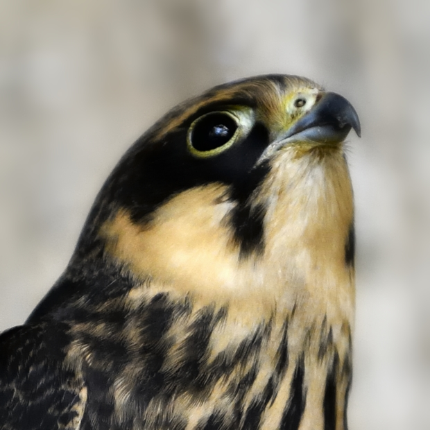 image-8576270-Tree_falcon2.jpg