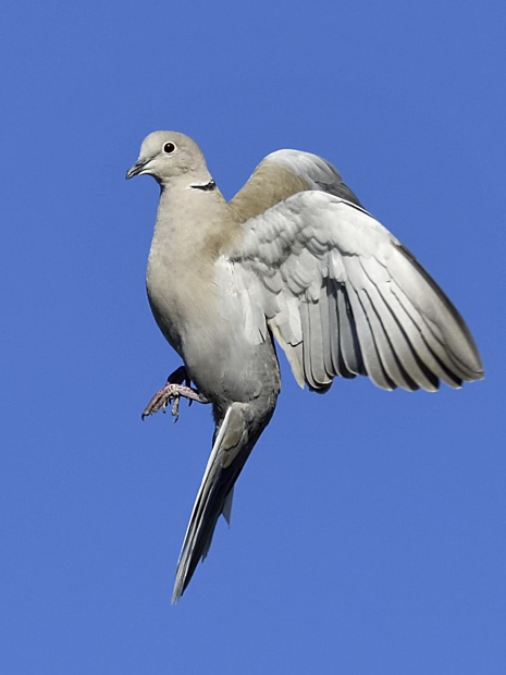 image-8807588-13Collared_dove.jpg