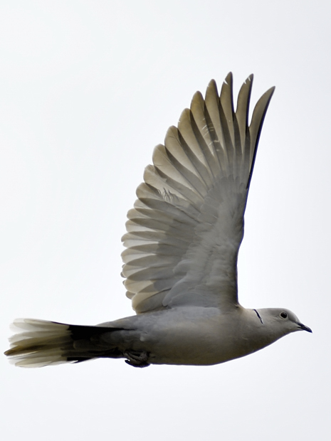 image-8807600-14Collared_dove.jpg