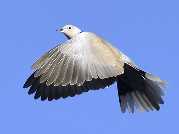 image-8807609-15Collared_dove.jpg