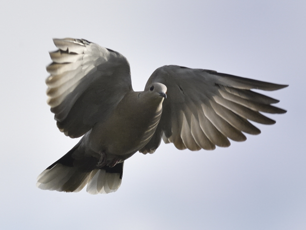 image-8807615-16Collared_dove.jpg