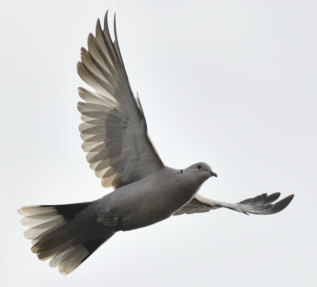 image-8807618-17Collared_dove.jpg