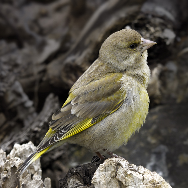 image-9046910-01FemaleGreenfinch.jpg