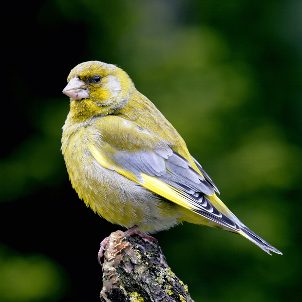 image-9046937-02MaleGreenfinch.jpg