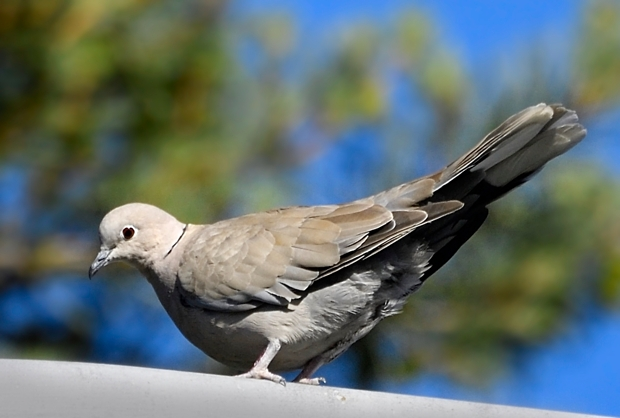 image-9642464-10Collared_dove29.jpg