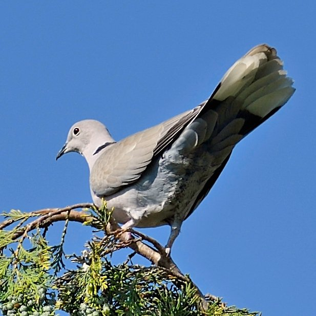 image-9642473-13Collared_dove35.w640.jpg
