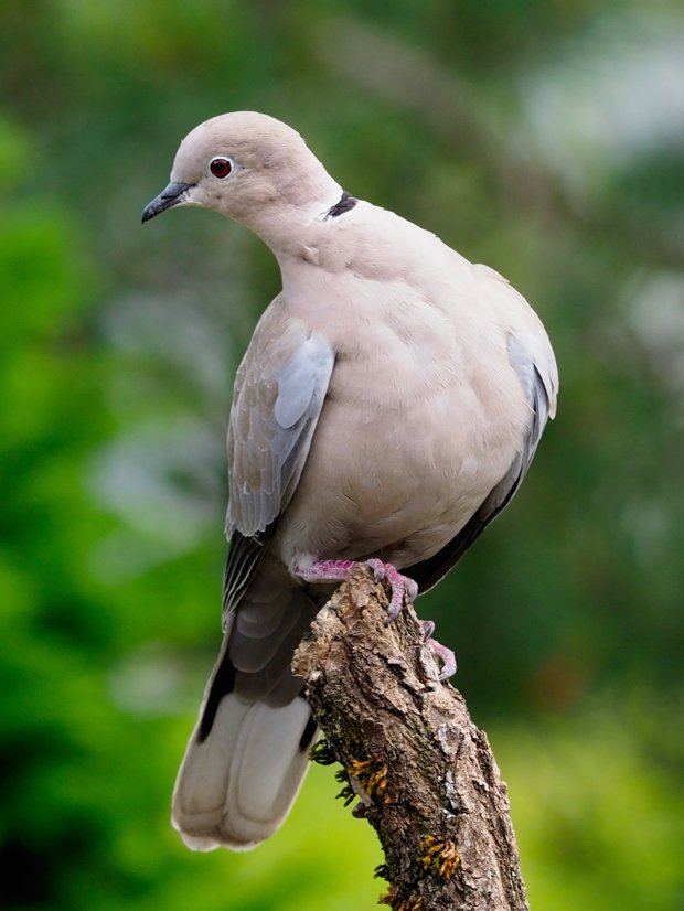 image-9642488-17Collared_dove36.w640.jpg