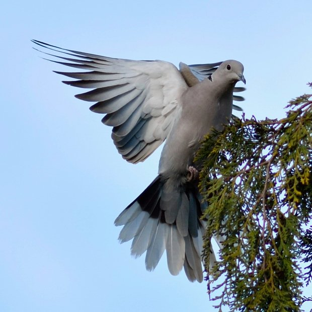 image-9642497-18Collared_dove.w640.jpg