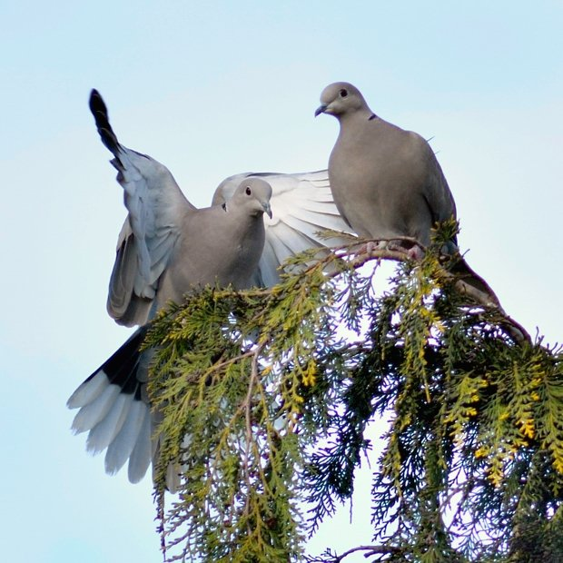 image-9642500-19Collared_dove.w640.jpg