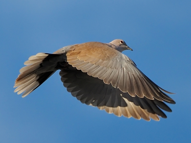 image-8807624-18Collared_dove.jpg
