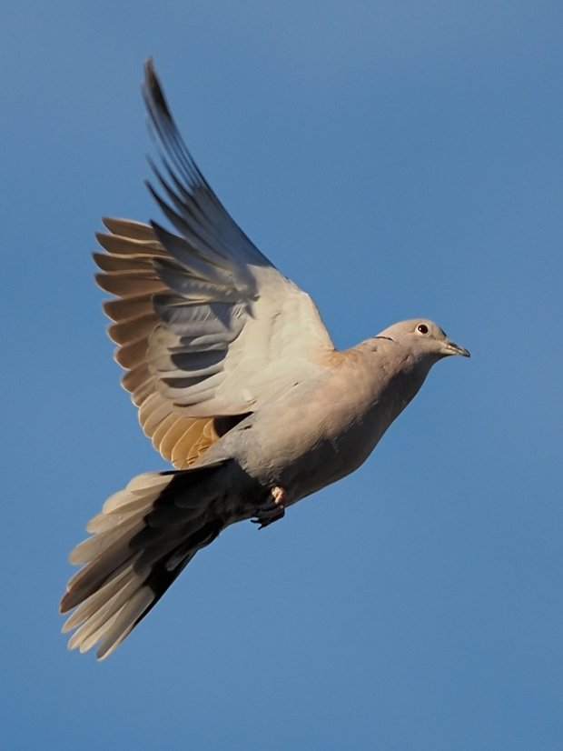 image-8807627-19Collared_dove.w640.jpg